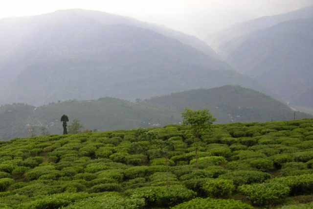 darjeeling tea plantation in India